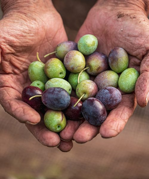 The seasonal harvest of olives in Puglia, south of italy
